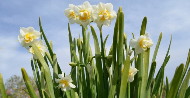 Silifke'de Nergizler Çiçek Açtı