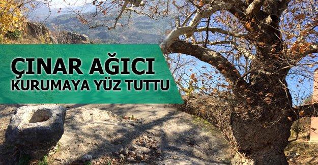 Ulu Çınar ağacı ilgi bekliyor