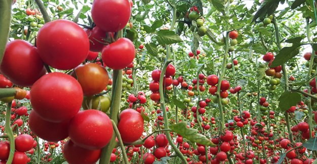 İhracat durdu, domates dalında kaldı