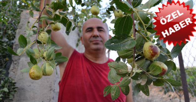 Son zamanların gözdesi meyvesi Hünnap