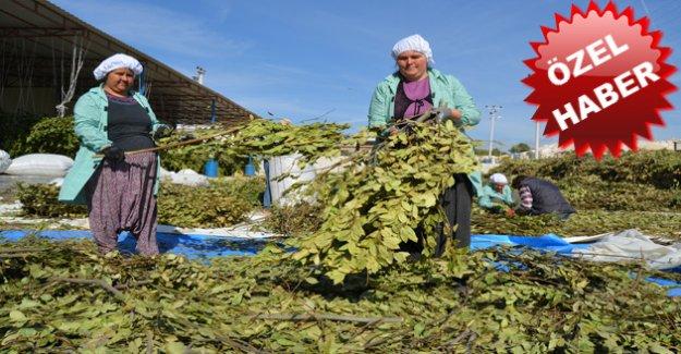 Silifke'den Amerika ve Avrupa'ya Yeşil Altın İhraç Ediliyor