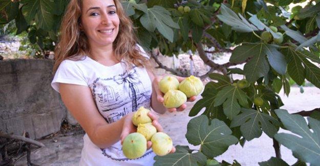 Silifke'de incir hasadı başladı