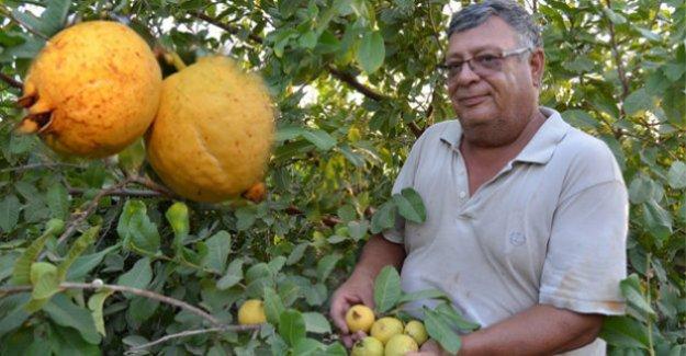 Silifke'den Irak'a guava ihracatı