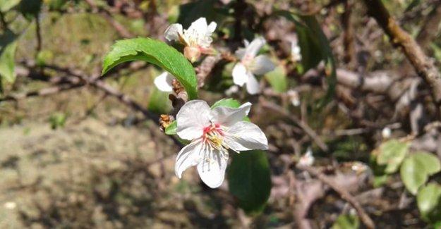 Erik ağaçları çiçek açtı, dut meyve verdi