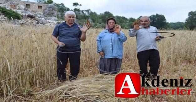 Silifkeli Çiftçiler, Sarp Arazideki Ekinlerini Orakla Biçiyor