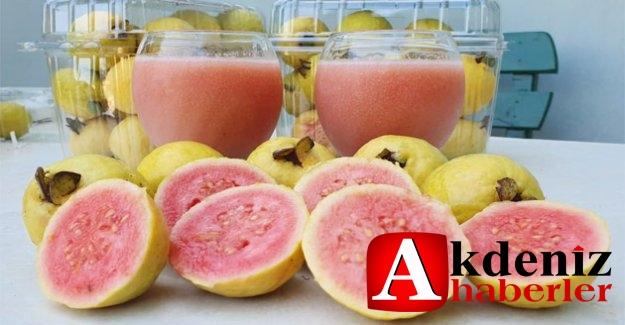 Silifke'de 'Guava' hasadı başladı