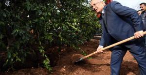 Turunçgil bahçesinin ilk anıt ağacı dikildi