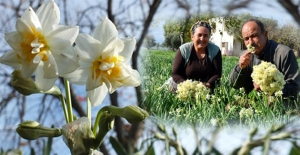 Türkiye soğukla boğuşurken Silifke'de nergisler çiçek açtı