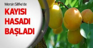 Türkiye'nin İlk Kayısısı çıktı